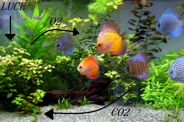 Guida al primo allestimento di un acquario tropicale for Allestimento acquario pesci rossi